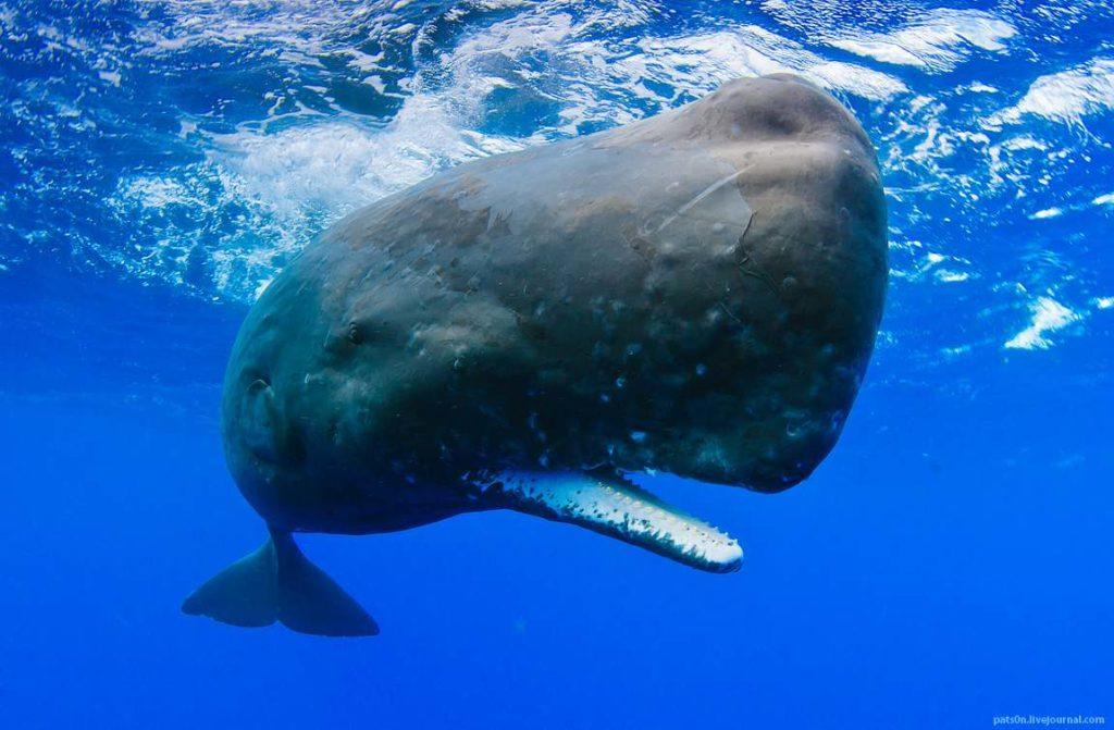 sperm whale